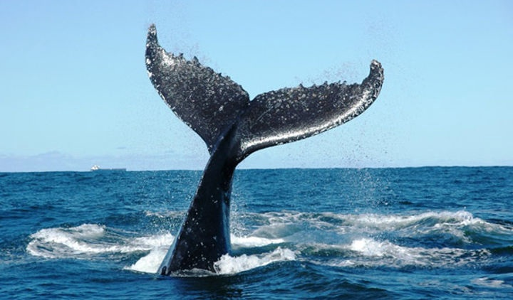 Pecora Verde nel santuario dei cetacei