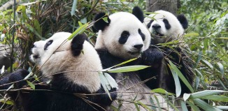 Panda del centro di ricerca di Chengdu in Cina